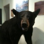 Black Bear, Museum of the Big Bend, Alpine